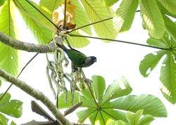 Santarem Parakeet, Pyrrhura amazonum