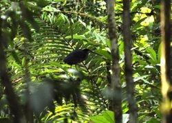 Agami Heron, Agamia agami
