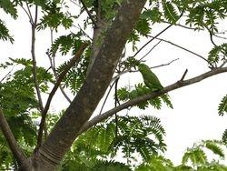 Blue-winged Parrotlet, Forpus modestus