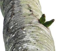Golden-winged Parakeet, Brotogeris chrysopterus