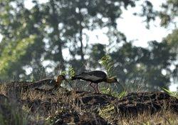 Buff-necked Ibis, Theristicus caudatus