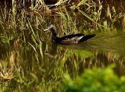 Muscovy Duck, Cairina moschata