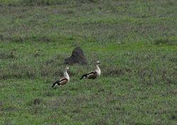 Orinoco Goose, Neochen jubata