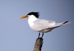 Cabot's Tern, Thalasseus acuflavidus