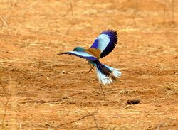 Abyssinian Roller, Coracias abyssinica