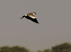 Spur-winged Plover, Vanellus spinosus