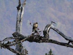 Himalayan Buzzard, Buteo [buteo] burmanicus