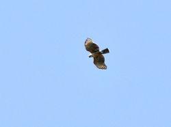 Mountain Hawk-Eagle, Nisaetus nipalensis