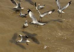 Brown-headed Gull, Larus brunnicephalus