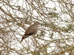 Eurasian Collared Dove, Streptopelia decaocto xanthocyclus