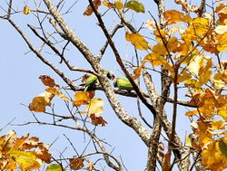 Red-breasted Parakeet , Psittacula alexandri