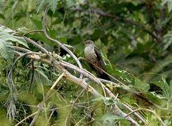 Oriental Cuckoo, Cuculus saturatus