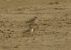 Sand Lark, Calandrella raytal