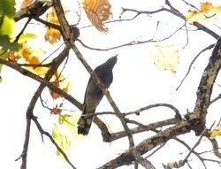 Black-winged Cuckooshrike, Coracina melaschistos