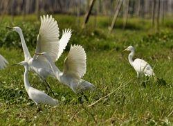 Intermediate Egret, Egretta intermedia