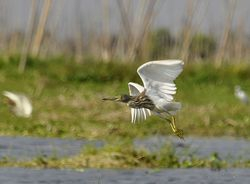 Indian Pond Heron, Ardeola grayii