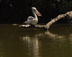 Spot-billed Pelican, Pelecanus philippensis