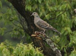 Oriental Turtle-Dove, Streptopelia orientalis