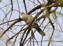 Collared Dove, Streptopelia decaocto
