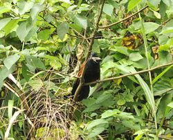 Lesser Coucal, Centropus bengalensis