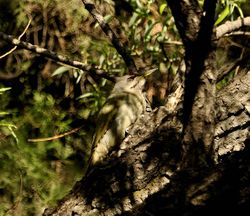Grey-faced Woodpecker, Picus canus
