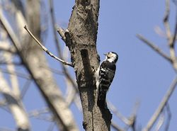 Lesser Spotted Woodpecker, Dendrocopos minor