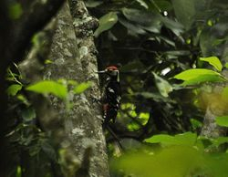 White-backed Woodpecker, Dendrocopos leucotos