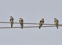 Bank Swallow, Riparia riparia