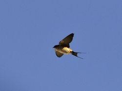 Red-rumped Swallow, Hirundo daurica