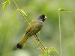 Collared Finchbill, Spizixos semitorques