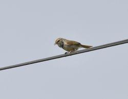 Manchurian Bush-Warbler Cettia canturians