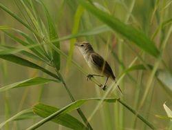 Oriental Reed-Warbler,  Acrocephalus orientalis