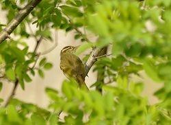 Yellow-browed Warbler, Phylloscopus