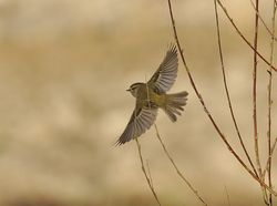Yellow-browed Warbler, Phylloscopus inornatus