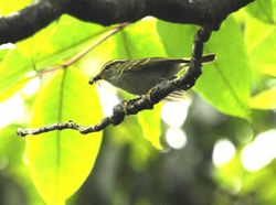 Hartert's Leaf-Warbler (white-tailed) Phylloscopus goodsoni