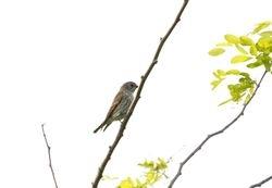 Grey-streaked Flycatcher, Muscicapa griseisticta