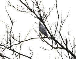 Chinese Goshawk, Accipiter soloensis