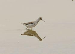 Marsh Sandpiper ,Tringa stagnatilis