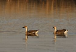 Swan Goose, Anser cygnoides
