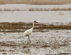 Siberian Crane, Grus leucogeranus