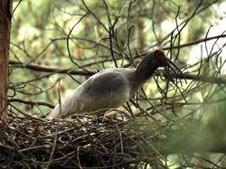 Crested Ibis, Nipponia nippon