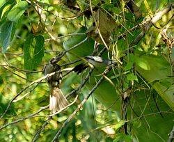 Buru Friarbird, Philemon moluccensis