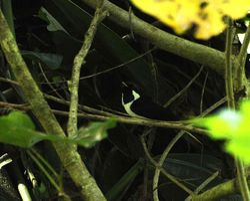 Black-tipped Monarch, Monarcha loricatus
