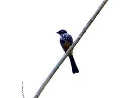 Northern Fantail, Rhipidura rufiventris