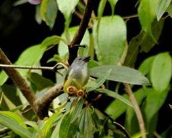 Buru (Flame-breasted) Flowerpecker, Dicaeum erythrothorax