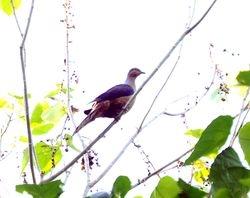 Brown/Slender-billed Cuckoo-Dove, Macropygia amboinensis