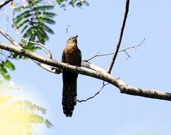 Moluccan Cuckoo, Cacomantis heinrichi