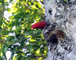 Red Lory, Eos bornea
