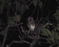 Lesser Masked-Owl, Tyto sororcula cayelii