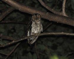 Moluccan Scops-Owl, Otus magicus